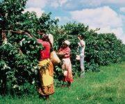 Il riscaldamento globale mette a rischio le piantagioni mondiali di caffè