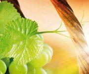 Valorizzazione e difesa dei vitigni del Carso
